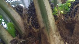 Palm tree at plantation in Sumatra, Indonesia