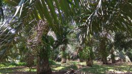 Palm oil plantation in Sumatra, Indonesia